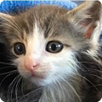 Domestic Shorthair Kitten for adoption in Wayne, New Jersey - Wrigley