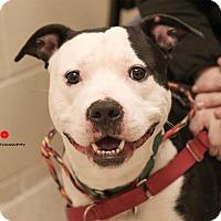 Adopt A Pet :: Chino - Grand Rapids, MI