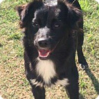 Border Collie/Alaskan Malamute Mix Dog for adoption in Allen, Texas - Julie