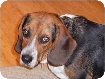 Beagle Dog for adoption in Portland, Oregon - Timmy