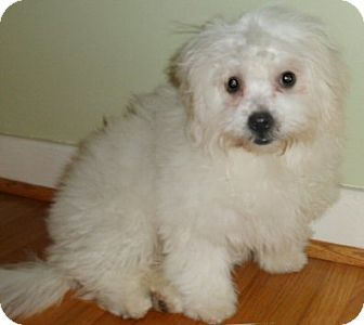 Shih Tzu/Bichon Frise Mix Puppy for adoption in Mooy, Alabama - Pippen