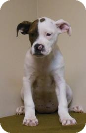 Pit Bull Terrier Mix Puppy for adoption in Gary, Indiana - Betsy