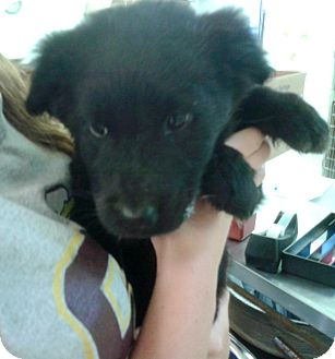 Labrador Retriever Mix Puppy for adoption in Waldorf, Maryland - Spanky