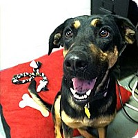 Adopt A Pet :: Domino - Fort Riley, KS