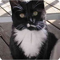 Adopt A Pet :: Smudge with brother Thumbs - Syracuse, NY