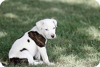 Broken Arrow, OK - American Bulldog Mix. Meet Patch Adams a Puppy for