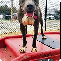 Adopt A Pet :: Angie - Belle Chasse, LA