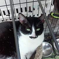 Manx Cat for adoption in Sarasota, Florida - Ralphie