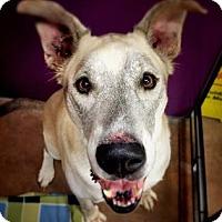 Adopt A Pet :: Sitka - Issaquah, WA
