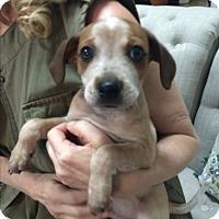 Adopt A Pet :: Crumble - Thousand Oaks, CA