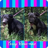 Adopt A Pet :: Teddy Bear (POM dc) - Washington, DC