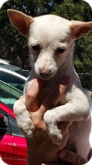 Chihuahua Mix Puppy for adoption in Tijeras, New Mexico - Kaden