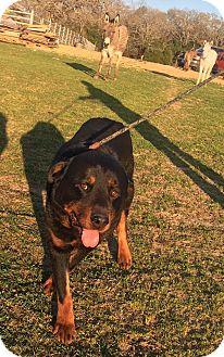 Rottweiler Mix Dog for adoption in Kaufman, Texas - Stryker