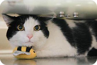 Domestic Shorthair Cat for adoption in Boise, Idaho - Bellatrix