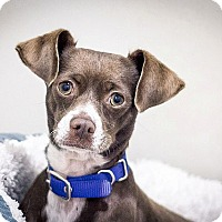 Adopt A Pet :: Snickers - Berkeley, CA