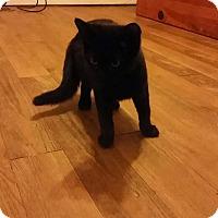 Adopt A Pet :: Amadeus - Columbus, OH