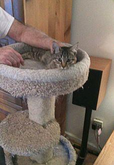 Domestic Shorthair Kitten for adoption in Fayetteville, Tennessee - Benji