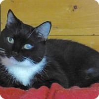 Domestic Shorthair Cat for adoption in Waxhaw, North Carolina - Alana