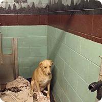 Labrador Retriever Mix Dog for adoption in Cambridge, Ontario - Lana