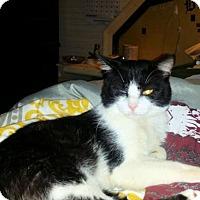 Domestic Longhair Cat for adoption in Norristown, Pennsylvania - Tux davis