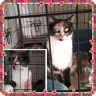 Calico Cat for adoption in Cedar Springs, Michigan - Mitzie