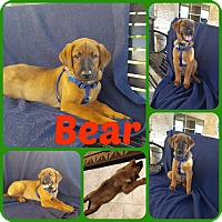 Adopt A Pet :: Bear - Ft Worth, TX