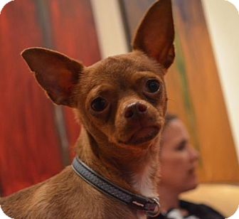 Chihuahua Puppy for adoption in Burlingame, California - Durant