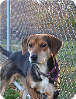 Beagle Mix Dog for adoption in Delaware, Ohio - Bailey
