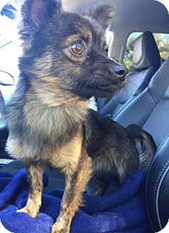 Pomeranian/Terrier (Unknown Type, Small) Mix Dog for adoption in Patterson, California - Pax