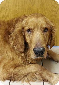 Golden Retriever Dog for adoption in Brattleboro, Vermont - Telly
