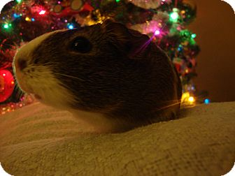 Guinea Pig for adoption in Pittsburgh, Pennsylvania - Holly