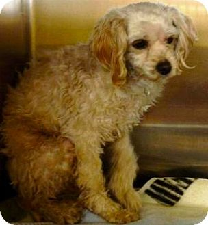 Poodle (Miniature)/Cocker Spaniel Mix Dog for adoption in Thousand Oaks, California - Benny