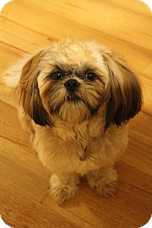 Shih Tzu Mix Dog for adoption in Hamburg, Pennsylvania - Jake