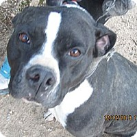 American Staffordshire Terrier Mix Dog for adoption in Littlerock, California - Panda