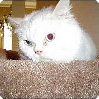 Ragdoll Cat for adoption in Chattanooga, Tennessee - Snow Baby