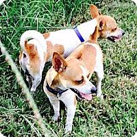 Adopt A Pet :: BUTCH & CASSIDY adopt together - Terra Ceia, FL