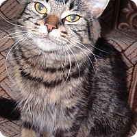 Adopt A Pet :: Tamara-GREAT cat! - Hadley, MI
