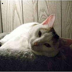 Photo 1 - Calico Cat for adoption in Bartlett, Illinois - Lady Di