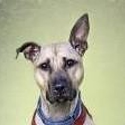 Photo 1 - American Pit Bull Terrier/Shepherd (Unknown Type) Mix Dog for adoption in Brooklyn, New York - Regina