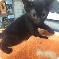 Domestic Shorthair Kitten for adoption in St. Louis, Missouri - Dora
