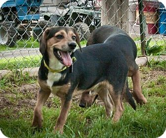 Beagle Mix Puppy for adoption in Perryville, Missouri - Tator