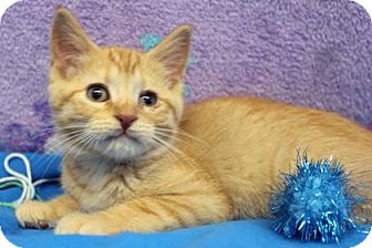 Domestic Shorthair Kitten for adoption in South Bend, Indiana - Ditto (Sebastian)