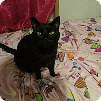 Domestic Mediumhair Cat for adoption in sanford, North Carolina - Midnight