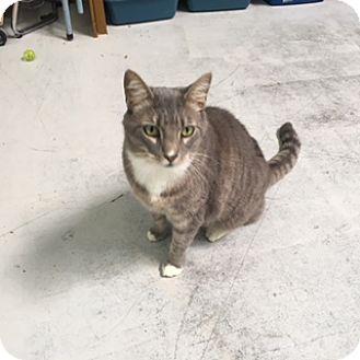 Domestic Shorthair Cat for adoption in Diamond Springs, California - Loki 2 Chips