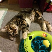 Manx Cat for adoption in Millersville, Maryland - Cheetah