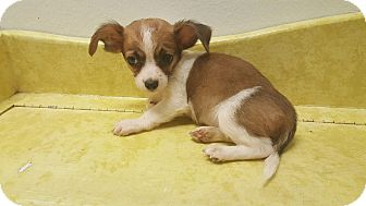 Chihuahua/Rat Terrier Mix Puppy for adoption in Pflugerville, Texas - Beethoven