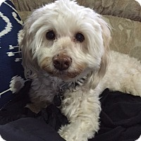 Adopt A Pet :: Lillee - Battle Ground, WA
