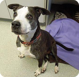 Pit Bull Terrier Mix Dog for adoption in Newport, Oregon - NOVA