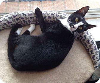 Domestic Shorthair Cat for adoption in Arlington, Texas - Charlotte