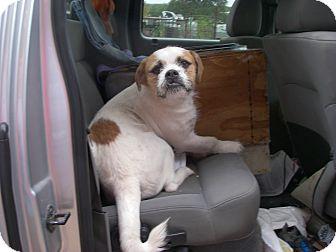 American Bulldog/Shih Tzu Mix Dog for adoption in Buchanan Dam, Texas - BamBam